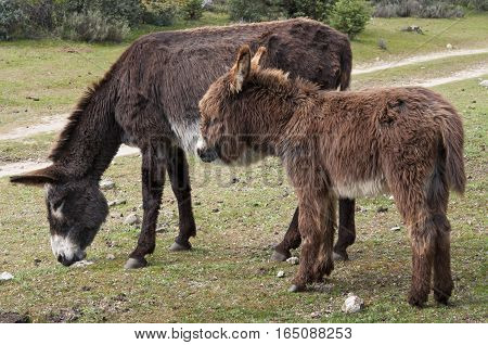 Two donkeys grazing in the field. Photo take in Colmenar Viejo, Madrid, Spain