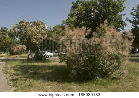 Fluffy bushes on the steets. Summer street