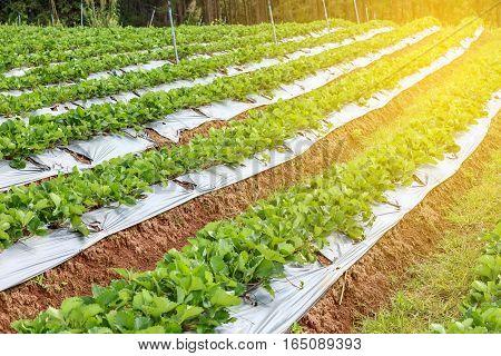 Row Of Strawberry Garden Field In Thailand
