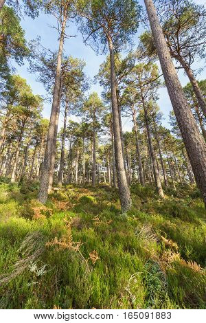 Sunny Scots Pine forest with blue sky above