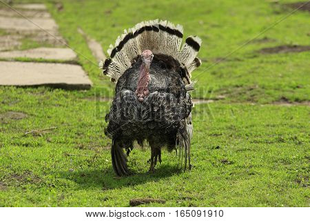 Gobbler dances spreading his tile and wings plumage at a green lawn