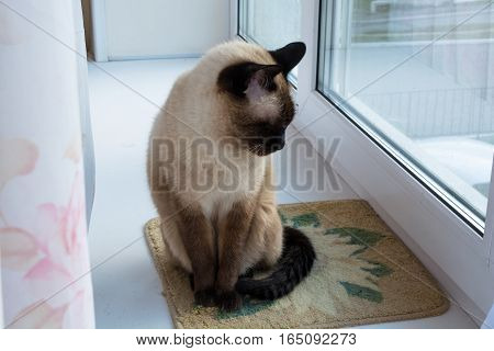Cat sits on a windowsill. Between curtain and window.