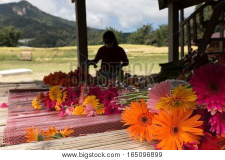 CHIANG MAI, THAILAND - NOVEMBER 4: unidentified woman arranging and tendering flowers for sale in Baan Mae Klang Luang in Chiang Mai Thailand on November 4 2016.