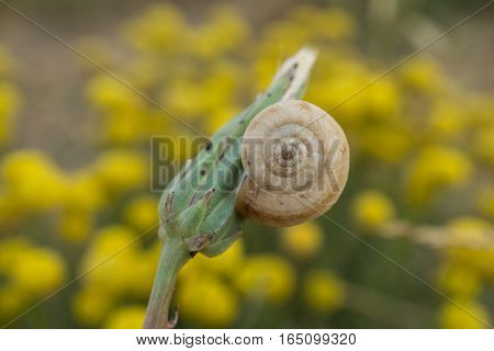Flower bud with a white ground snail stuck. Small yellow blossom growing on wild meadow close up