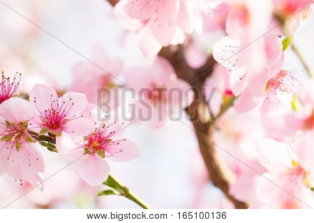 Soft sunlight in beautiful pink flower blossom branch bud background