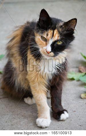 tricolor mottled fluffy street cat close up