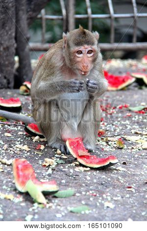 Monkey Enjoy To Be Eating Watermelon.