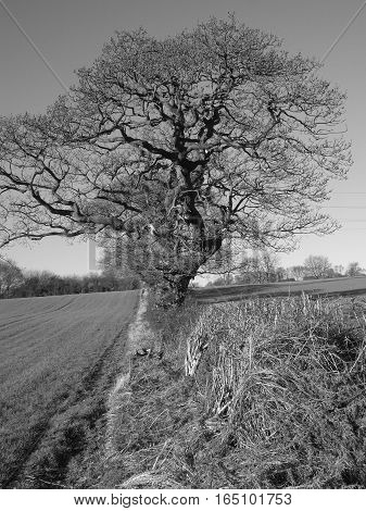 Atmospheric image of old gnarly oak tree (Quercus rubur) set in hedgerow amongst agricultural land during winter