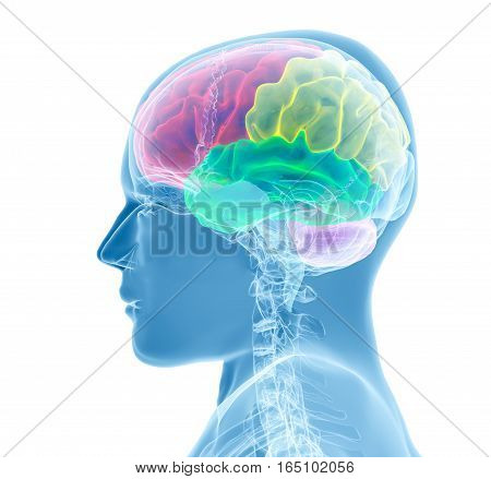 Brain model xray - 3D render illustration