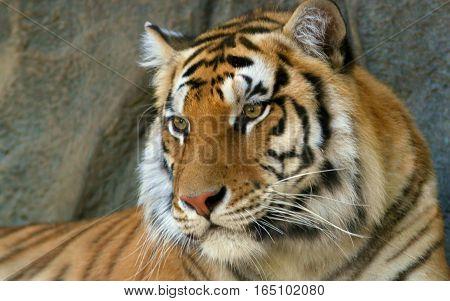 Royal Bengal Tiger Closeup Thinking Face Sitting on rock