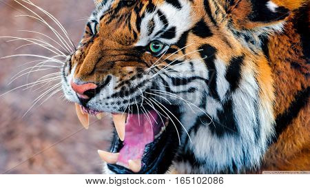 Royal Bengal Tiger Angry Roaring Face Closeup