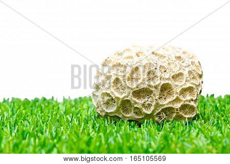 Ray White coral lay on the grass