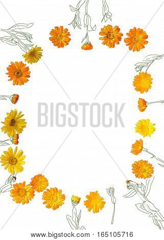 top view flat lay illustration of flowers herb calendula frame isolated on white background
