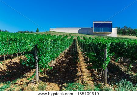Green rows of vines in the field in Spain