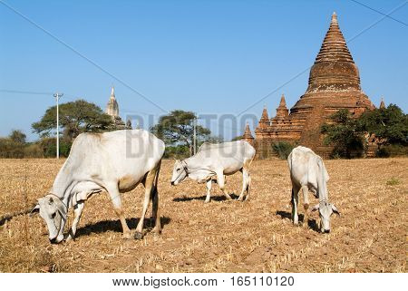 Cows in front of Shwegugyi temple at the archaeological site of Bagan on Myanmar temple at the archaeological site of Bagan on Myanmar