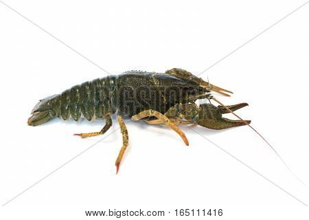 nutrition Live Crayfish on a white background