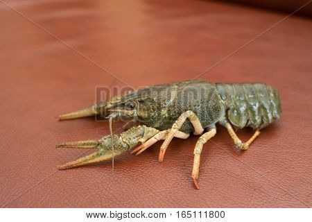 Live Crayfish on a leather Live crayfish