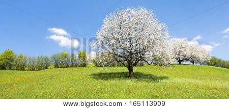 Fruit tree in white bloom. Cherry flowers. Alps meadow with wild flowers and lush spring grass. Bright clear spring sky in the month of May. Great atmosphere of awakening and blossoming of nature in the springtime.