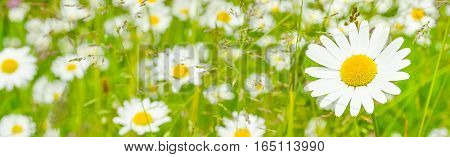 Daisy in the foreground on a field of daisies. Selective focus blur. Season spring summer. Red and purple color. Close up.