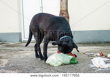 Metkovic, Croatia - January 14, 2017: Stray Dog Eating Garbage From Containers In Metkovic, Croatia