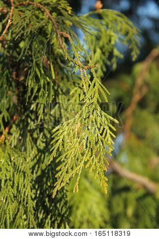 close photo of a twig of cedar tree