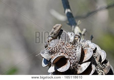 Australian native Jacky Dragon lizard (Amphibolurus muricatus) resting on a Banksia serrata cone in eucalypt forest, Royal National Park, Sydney, Australia