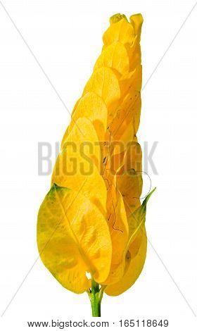 Pachystachys Lutea Yellow Flower, Known As Lollipop Plant And Golden Shrimp Plant.