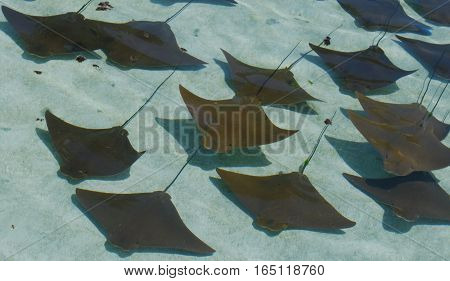 cow nose rays swimming in formation in shallow water