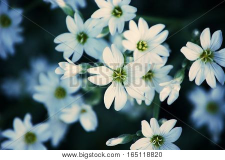 close up of Delicate white flower petals
