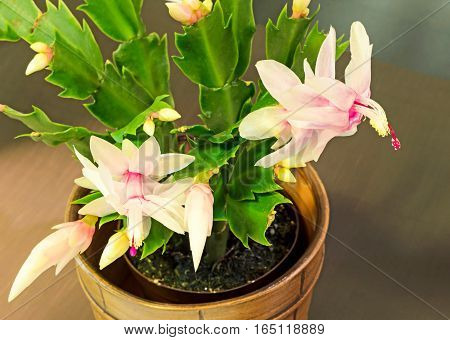 Pink, White Schlumbergera, Christmas Cactus Or Thanksgiving Cactus Flowers, In A Brown Flower Pot, C