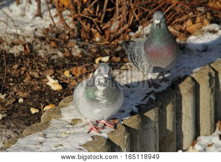 two gray pigeons searching for food in the park