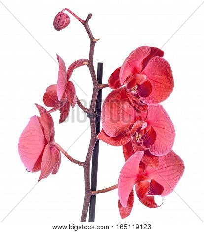 Red Branch Orchid  Flowers, Orchidaceae, Phalaenopsis Known As The Moth Orchid, Abbreviated Phal. Br