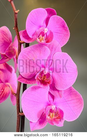 Purple Branch Orchid  Flowers, Orchidaceae, Phalaenopsis Known As The Moth Orchid, Abbreviated Phal.
