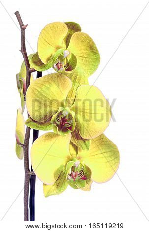 Yellow Branch Orchid  Flowers, Orchidaceae, Phalaenopsis Known As The Moth Orchid, Abbreviated Phal.