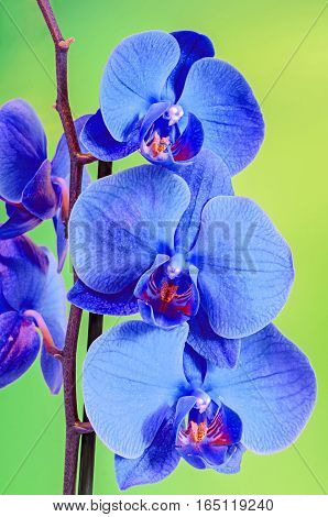 Blue Branch Orchid  Flowers, Orchidaceae, Phalaenopsis Known As The Moth Orchid, Abbreviated Phal. B