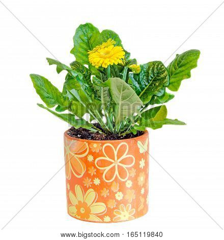 Yellow Gerbera Flowers, Green Leaves,  Flowerpot, Isolated.