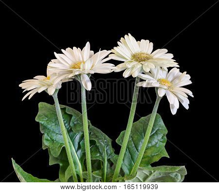 White Gerbera Flowers, Green Leaves, Isolated.