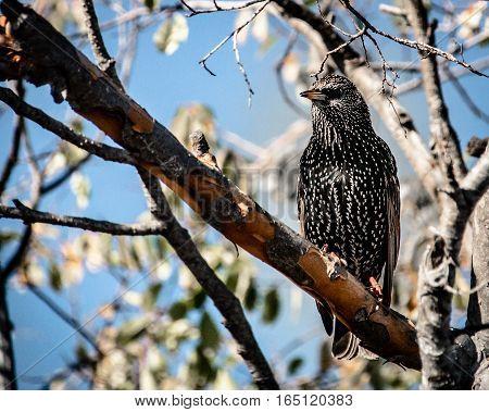 Songbird european starling sitting in a tree