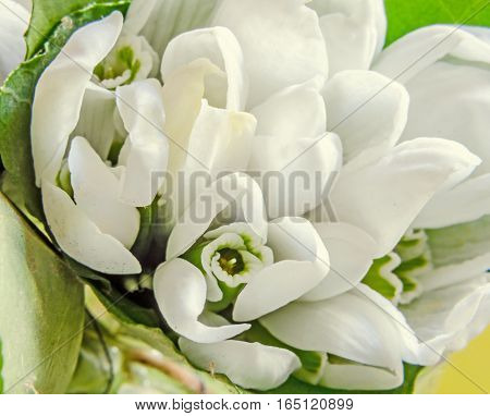 White Galanthus Nivalis, Snowdrop Flowers, Bunch, Close Up, Bokeh Background.