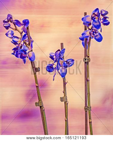 Colored Branch Orchid Flowers With Buds, Orchidaceae, Phalaenopsis