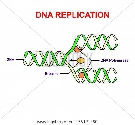 DNA replication on white isolated. Education info graphic.