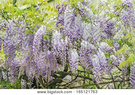 Mauve Wisteria Sinensis (chinese Wisteria), Glicina Tree Flowers, Close Up.
