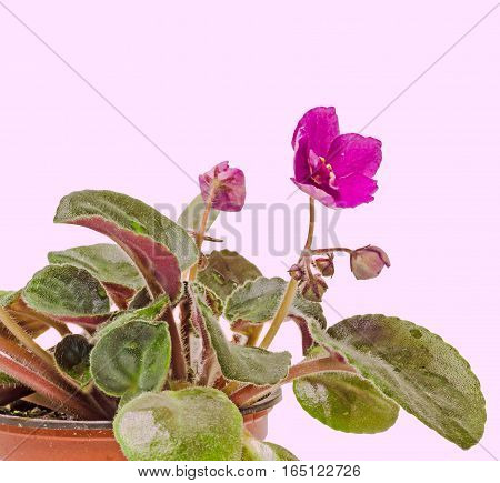 Violet Saintpaulias Flowers, Commonly Known As African Violets, Parma Violets, Close Up, Isolated, W