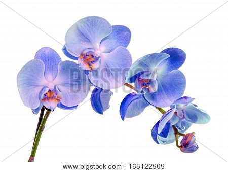 Blue Branch Orchid  Flowers, Orchidaceae, Phalaenopsis Known As The Moth Orchid, Abbreviated Phal. W
