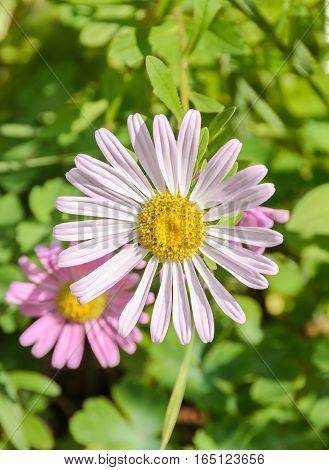 Pink Chrysanthemum Flower, Mums Or Chrysanths, Genus Chrysanthemum In The Family Asteraceae, Green F