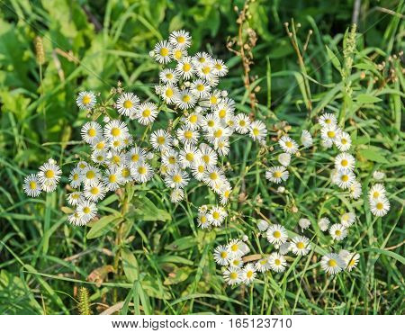 Anthemis Arvensis, Known As Corn Chamomile, Mayweed, Scentless Chamomile, Or Field Chamomile, Genus