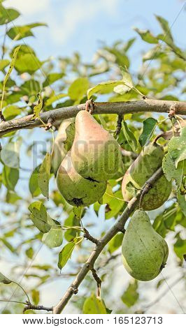Red, Yellow Pear Fruits In The Tree, Tree And Shrub Species Of Genus Pyrus, Family Rosaceae.