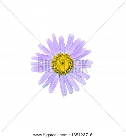 White Chrysanthemum Flower, Mums Or Chrysanths, Genus Chrysanthemum In The Family Asteraceae, Green