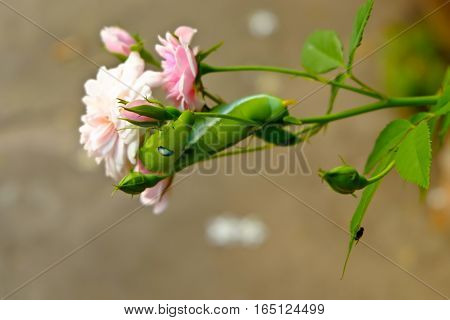 Green Caterpillar on rose pink (close up)