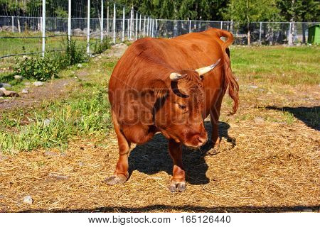 horned dwarf plump chunky mini brown cow, short legs, set on a farm